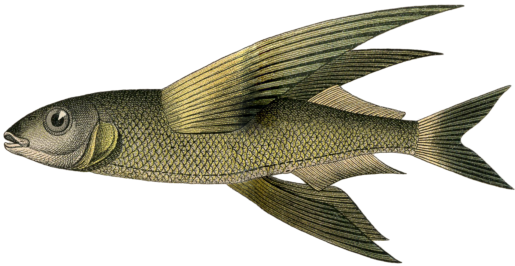 Creatures of the deep for The flying fish