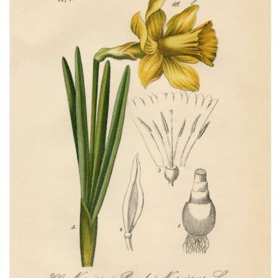 thumbnail of 05_daffodil_8x10_graphicsfairy
