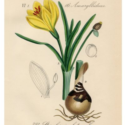 thumbnail of 06_yellow_winter_daffodil_8x10_graphicsfairy
