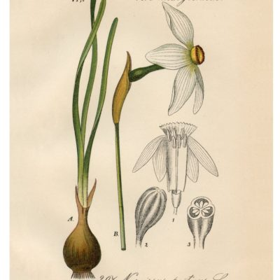thumbnail of 10_white_yellow_narcissus_8x10_graphicsfairy