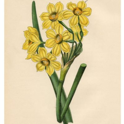 thumbnail of 11_yellow_narcissus_8x10_graphicsfairy