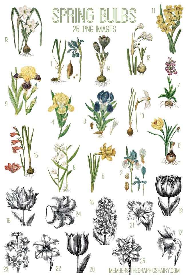 spring_bulbs_image_list_graphicsfairy