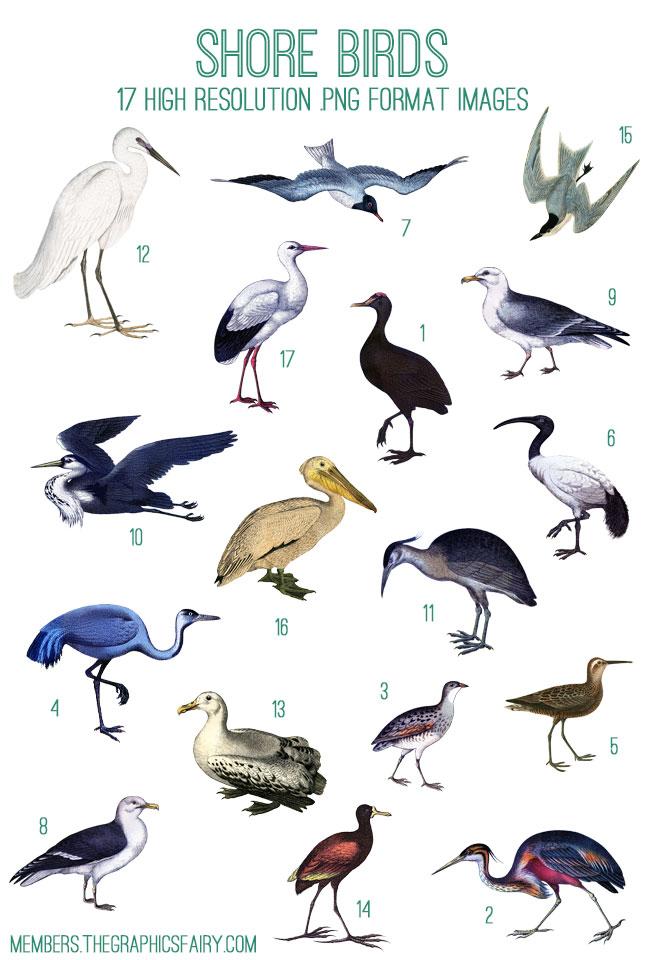 shore_birds_image_list_graphicsfairy
