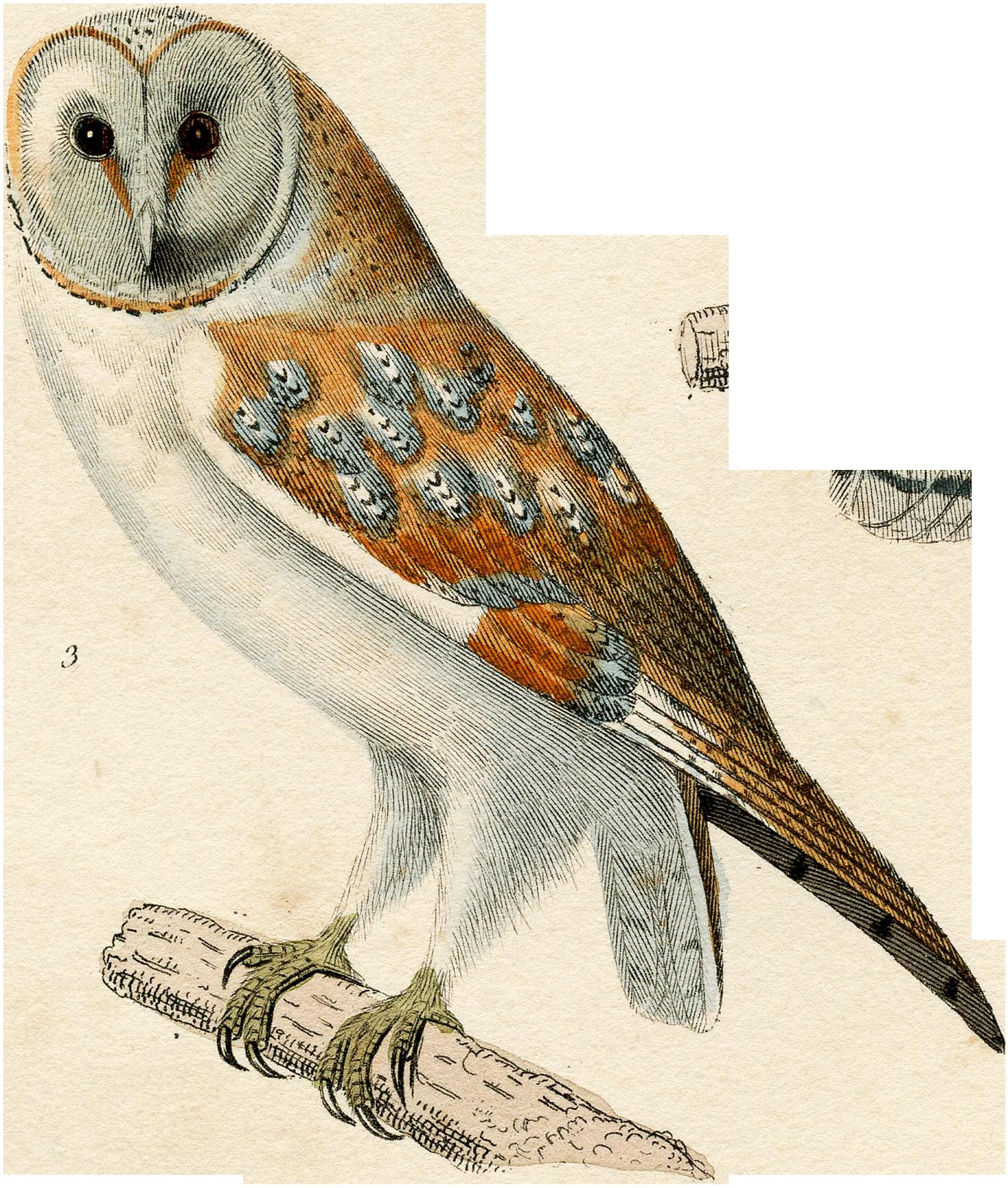 15_barn_owl_bird_graphicsfairy_06in